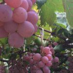 ロリアンワイン白百合醸造で生ワインボトル詰めやぶどう踏みの体験!ワイン祭り2018